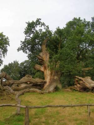 1000 jährige Eiche, Schlosspark Sacrow