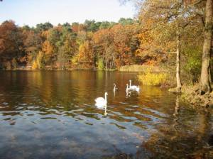 Schwäne in Ufernähe (2009) Rundweg um die Krumme Lanke, Zehlendorf