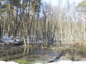 Erlenbruchwald im Briesetal (2013) Erlenbruchwälder, Birkenwerder, Briese, Briesetal, Biberbauten
