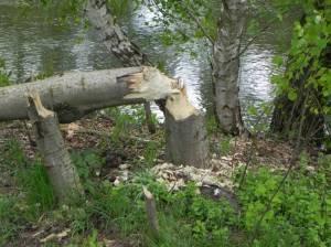 Dahme-Umflutkanal mit Biberspuren (2013) Dahme-Umflutkanal, Wehrgruppe Leibsch, Köthener See, Märkisch Buchholz