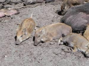 Wildschweingehege (2015) Wildschweingehege, Berlin-Hakenfelde, Spandauer Forst, Kuhlake