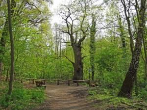 Die Dicke Marie (2016) Von Alt-Tegel nach Heiligensee, Höchster Baum Berlins, Ältester Baum Berlins, Baumberge, Schaustelle Sturm, Tegeler Forst, Tegeler See