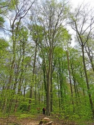 Höchster Baum Berlins (2016) Höchster Baum von Berlin, Berlin-Tegel, Tegeler Forst