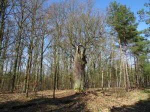 Waldgebiet bei Hangelsberg (2017) Rundweg von Fangschleuse, Wanderbeschreibung von 1910